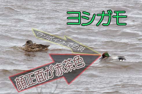 ヨシガモ(葦鴨)