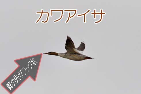 カワアイサ(川秋沙)