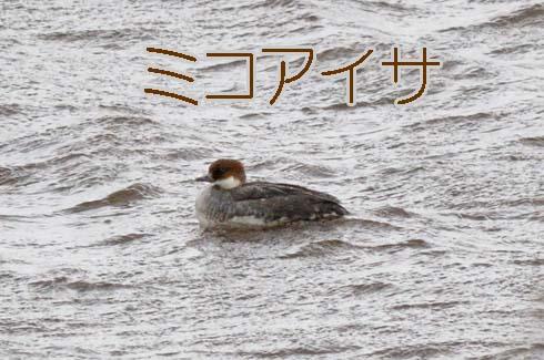 ミコアイサ(神子秋沙)
