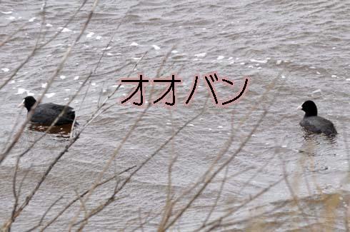 オオバン(大鷭)