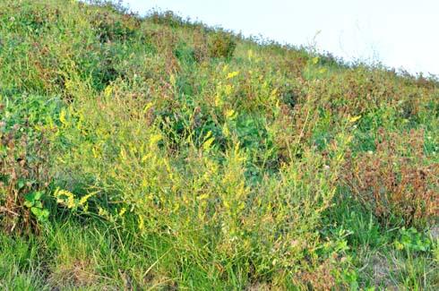 マメ科の黄色い花です。