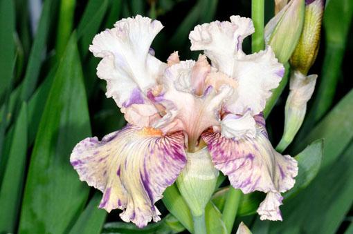 Iris ' Brindled Beauty '