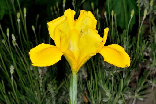 Iris ' Golden Beauty '