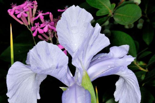 Iris ' Wedgewood '