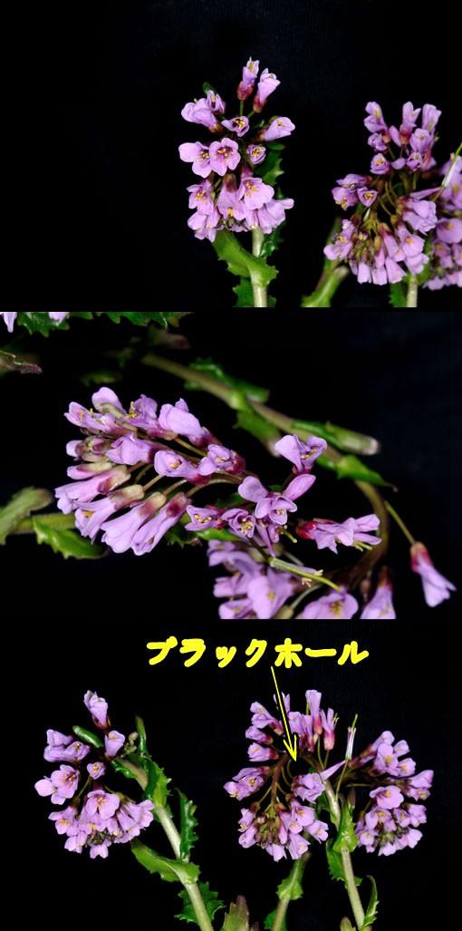 ベニバナハタザオ(紅花旗竿)