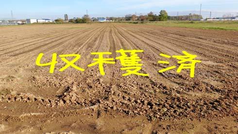 タマネギ畑。タブン