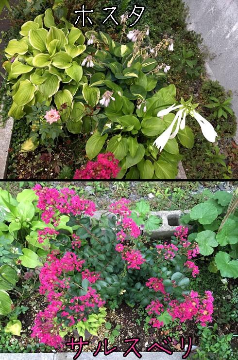 サルスベリの花期も晩夏でしょーか。