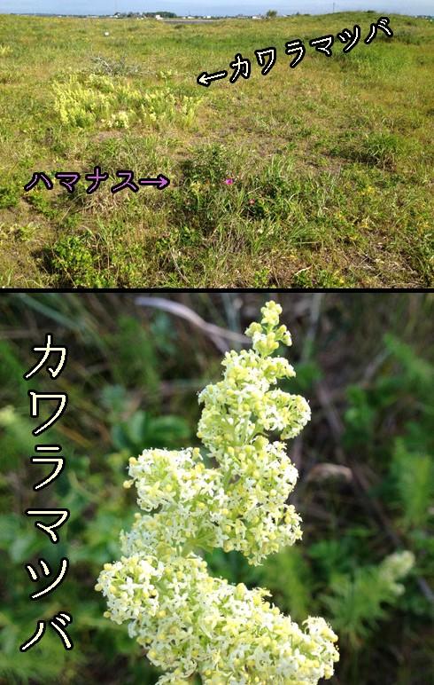カワラマツバ(河原松葉)