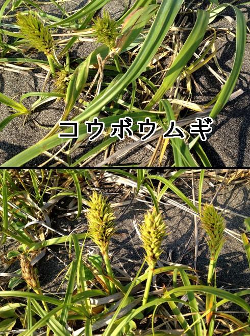 コウボウムギ(弘法麦)