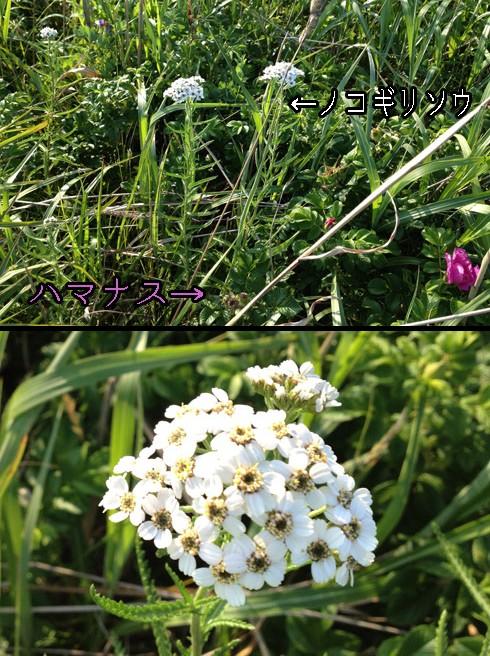 ノコギリソウ(鋸草)
